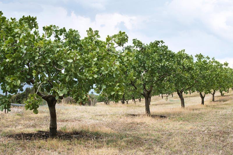 Reserva de plantas de pistacho