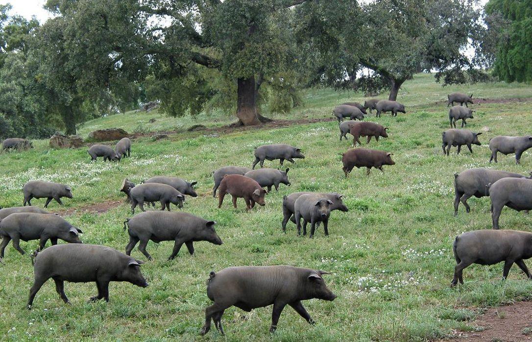 l'élevage espagnol, alerté par la proximité de foyers de fièvre de fièvre aphteuse et d'Afrique