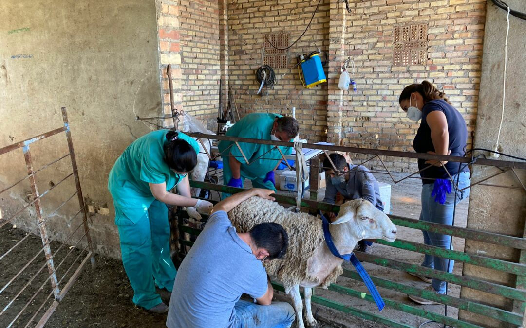 Cours d'évaluation des étalons ovins