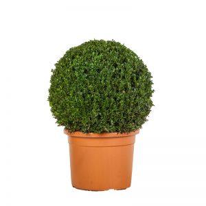 Buxusbol 50-70 cm