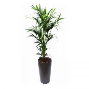 Palm 1.80-2.40 mtr