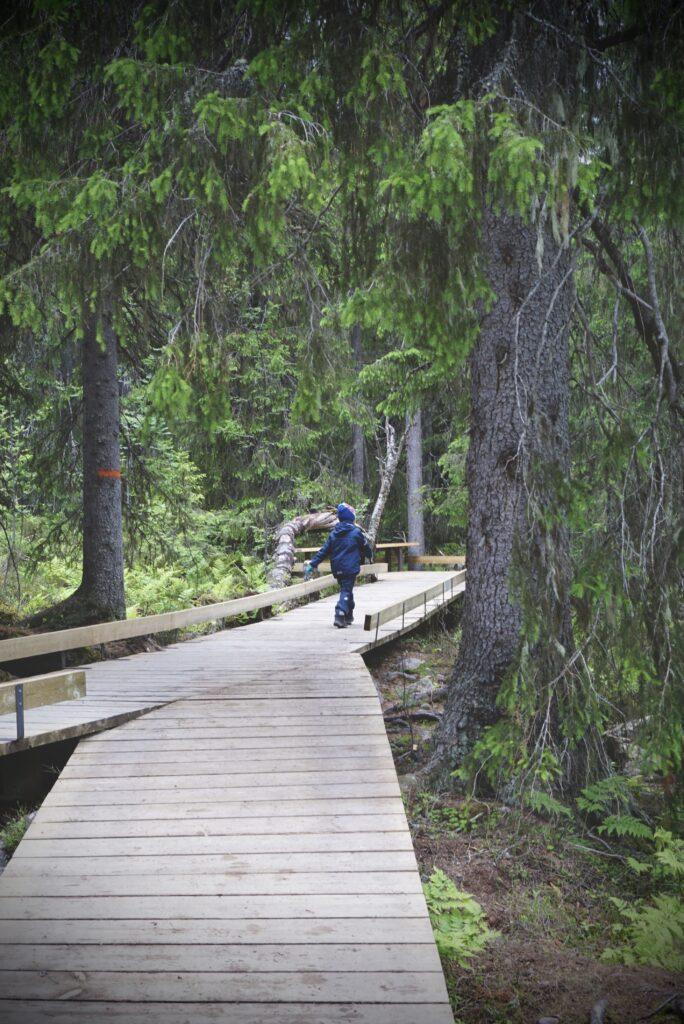 Fina spänger i skogen i Fulufjällets nationalpark.