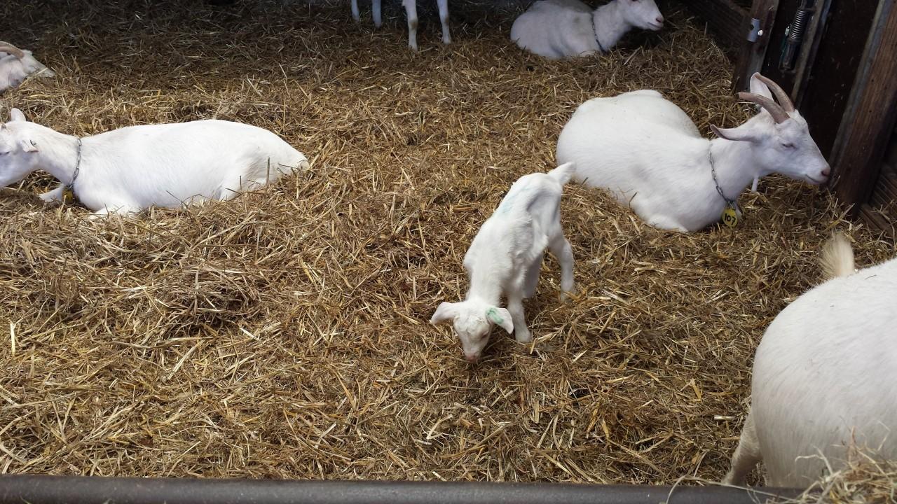 Een dagje naar de geitenboerderij