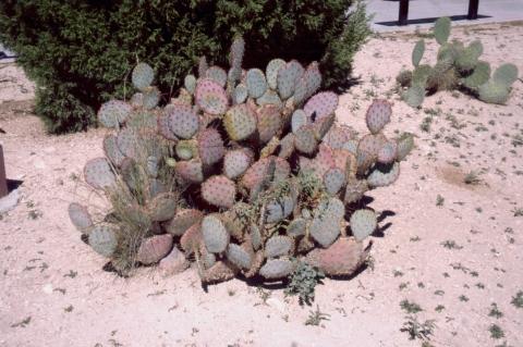 172 Santa Rita Prickly Pear