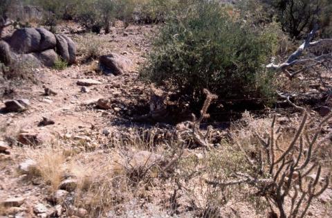 242 Coyote in desert museum