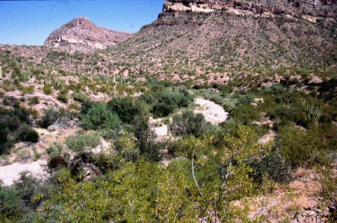 271 Organ Pipe Cactus NM