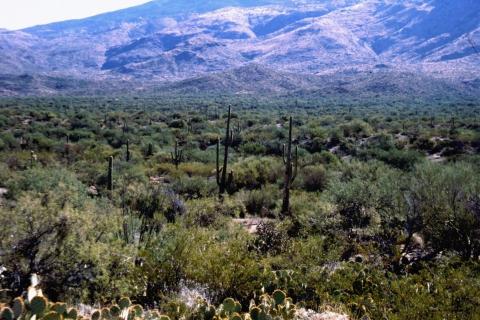 296 Organ Pipe cactus NM