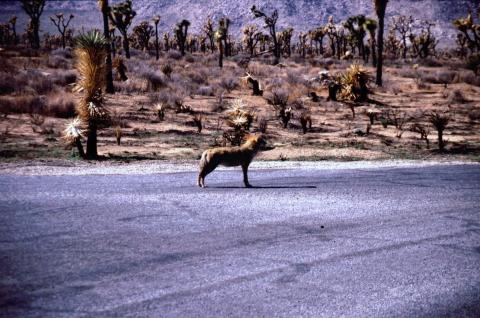 305 Coyote in Joshua Tree NP