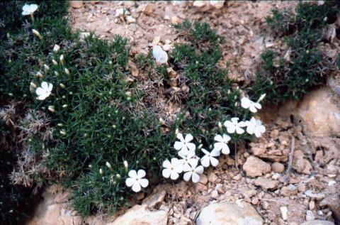 335 Phlox subulata