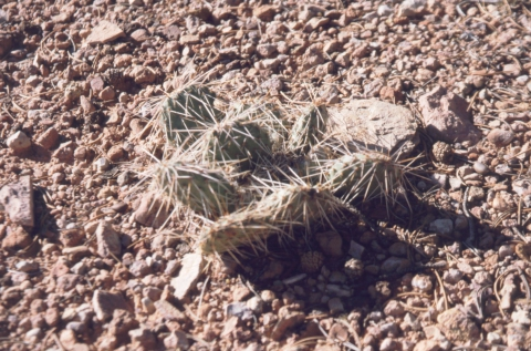42 Plains Prickly Pear