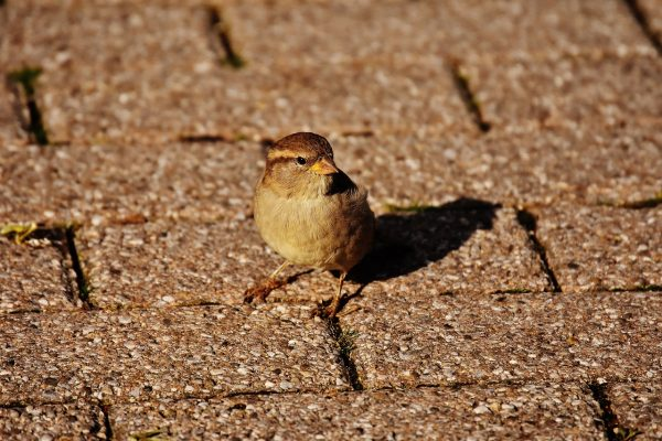 sparrow on the path