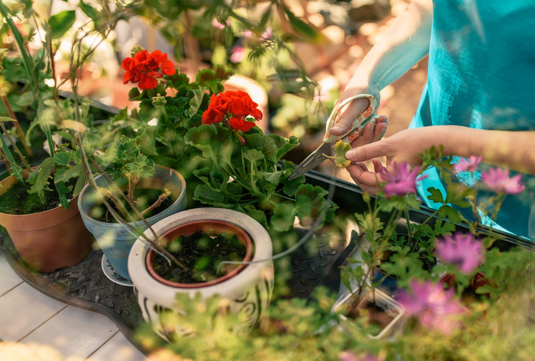 Woman cutting flowers in orangery. Colorful image with lovely atmosphere.