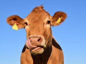 Foder til kvæg