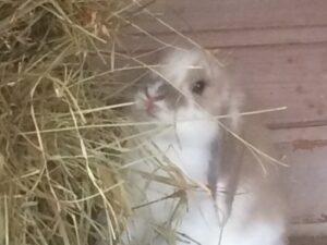 Hø til kanin og gnaver