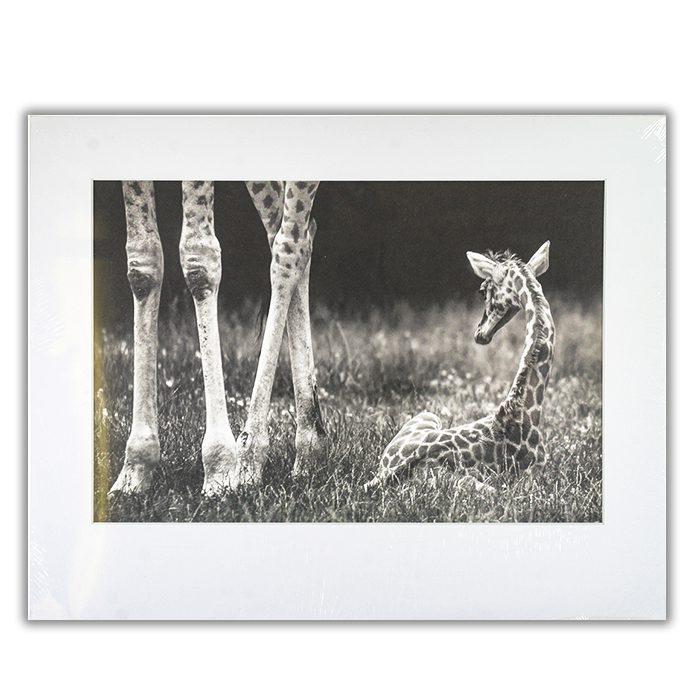 well protected Fotograf: Andreas Feldtkeller Svart vit bild av en giraffunge som ligger i gräset. Bredvid ser man endast benen av mamman