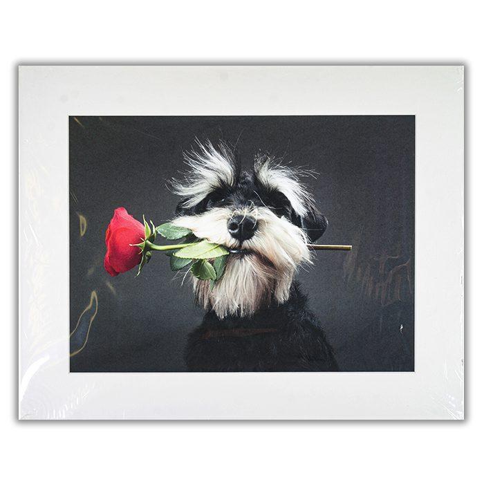 Tango Dancer Fotograf: Adnan Mahmutovic En luvig hund i svart och vitt med en röd ros i munnen