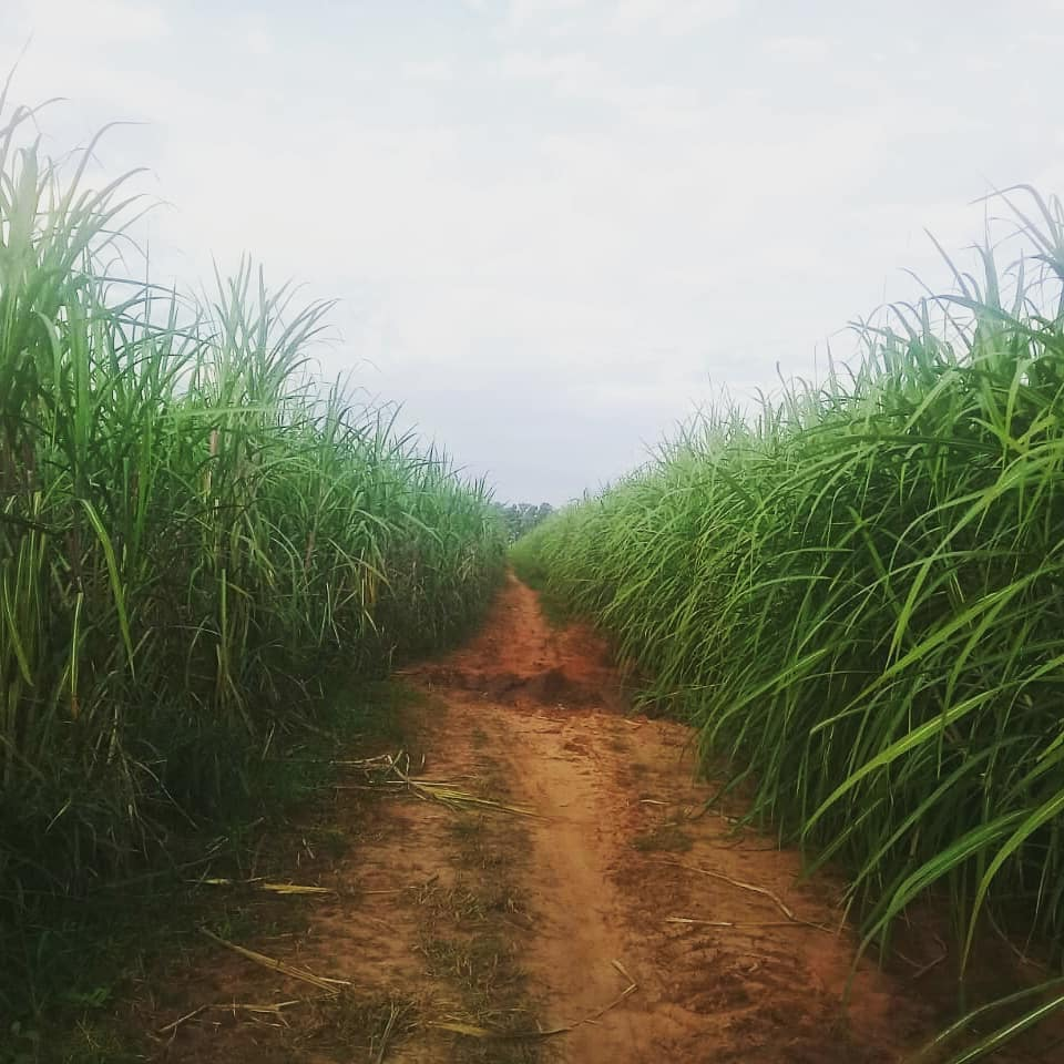 Sugarcane our organic molasses comes from
