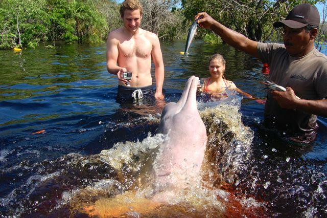 Rosa delfiner i Amazonas