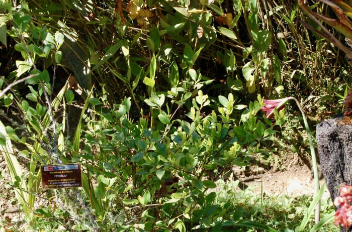 Machu Picchu - koka-plante