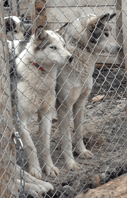Svalbard, hunder