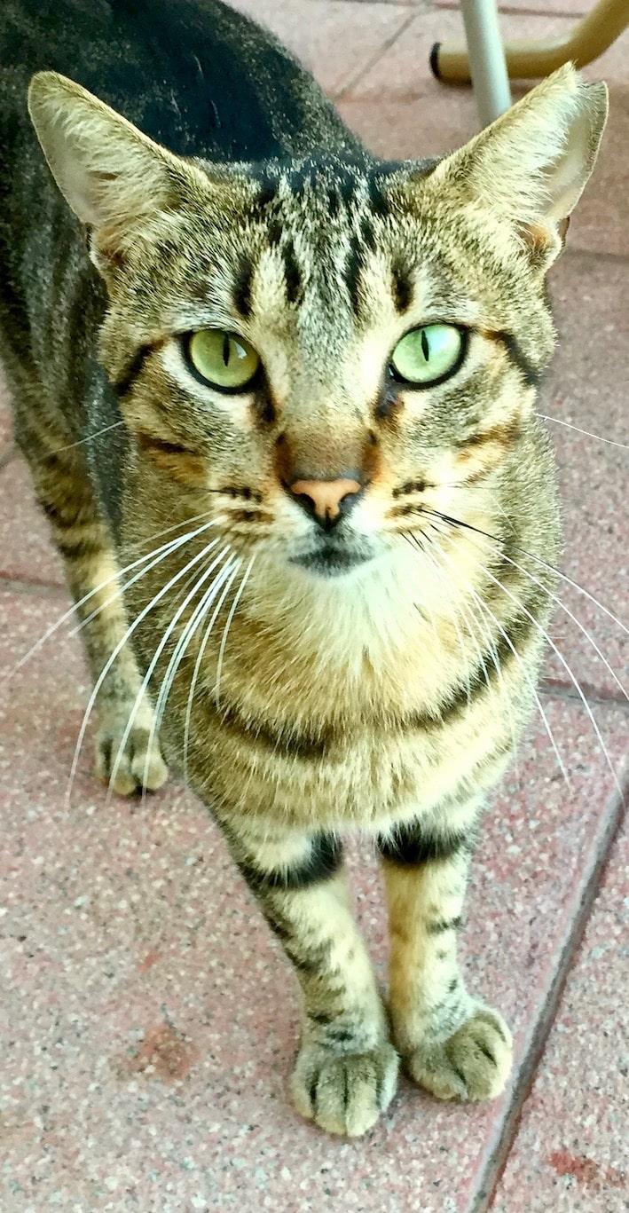 Torremolinos, katt på hotel Melia