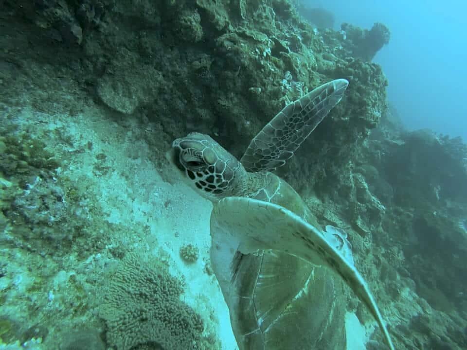 Marine Reef and Conservation - dykking  med havskilpadder, frivillig arbeid