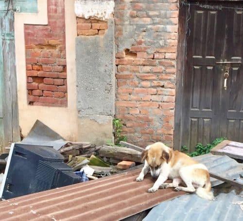 Løshunder i Bungamati