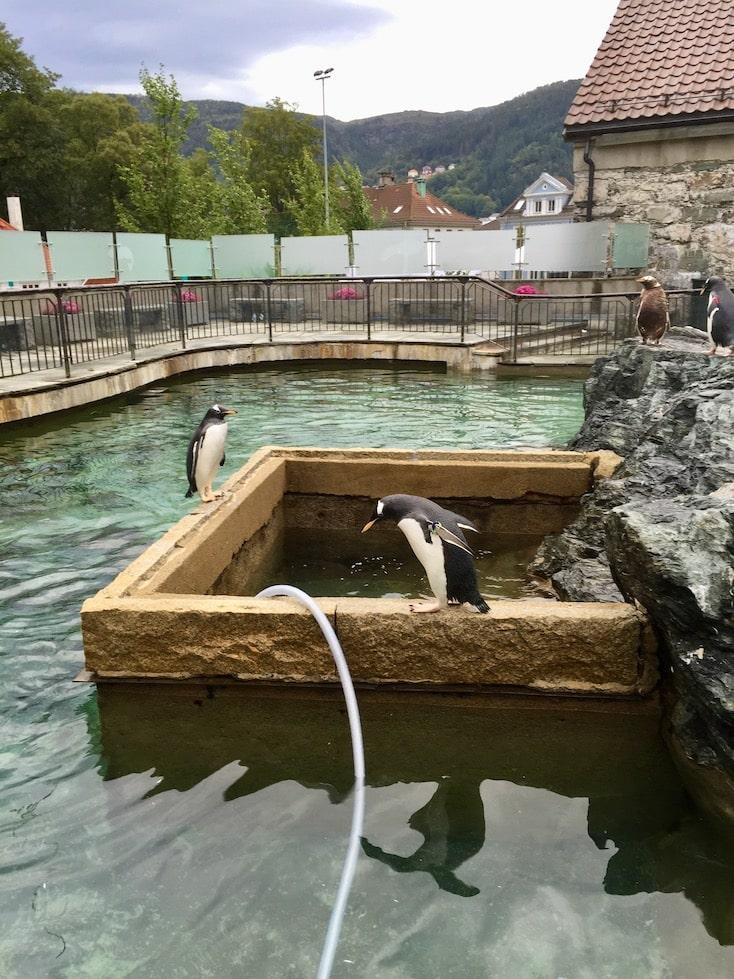 Pingviner. Akvariet. Opplevelser i Bergen.
