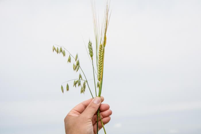 avernakoe-korn