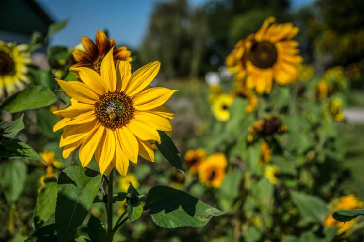 fejoe-blomster