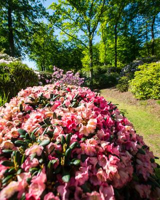 rododendron-haven-nivaagaard
