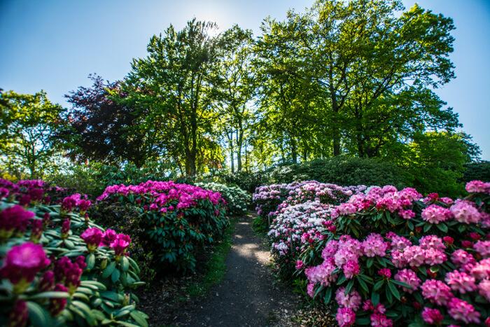 romantisk-have-nivaagaard-rododendron