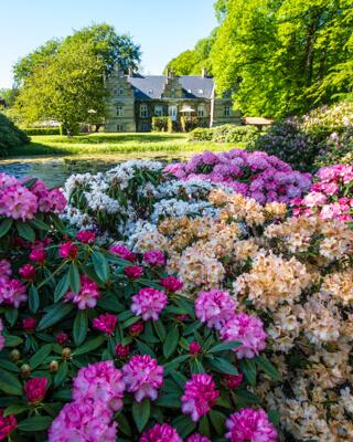 huset-nivaagaard-rododendron