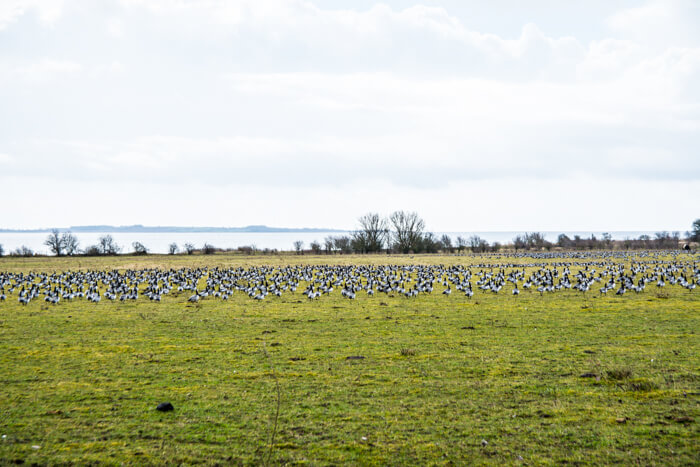 strynoe-fugle