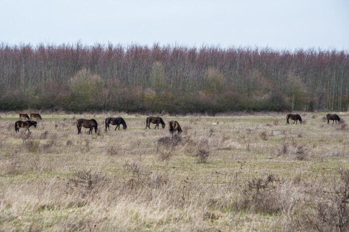 langeland-vilde-heste