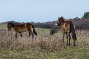 Oplev vilde Heste