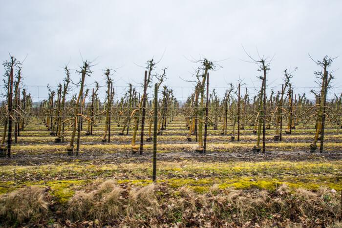 taasinge-aeble-plantage