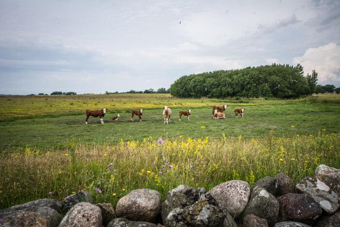hjortoe-koeerne-diger