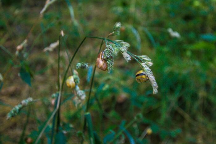 plante-vigelsoe