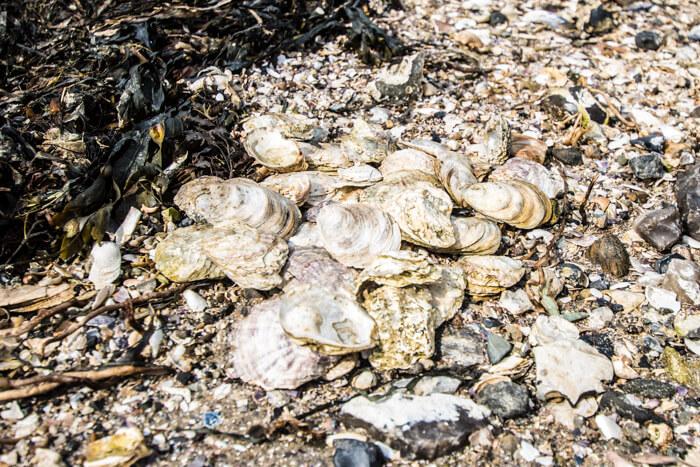 oestersskaller-vigelsoe