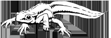Salamanders - Website van de Salamandervereniging