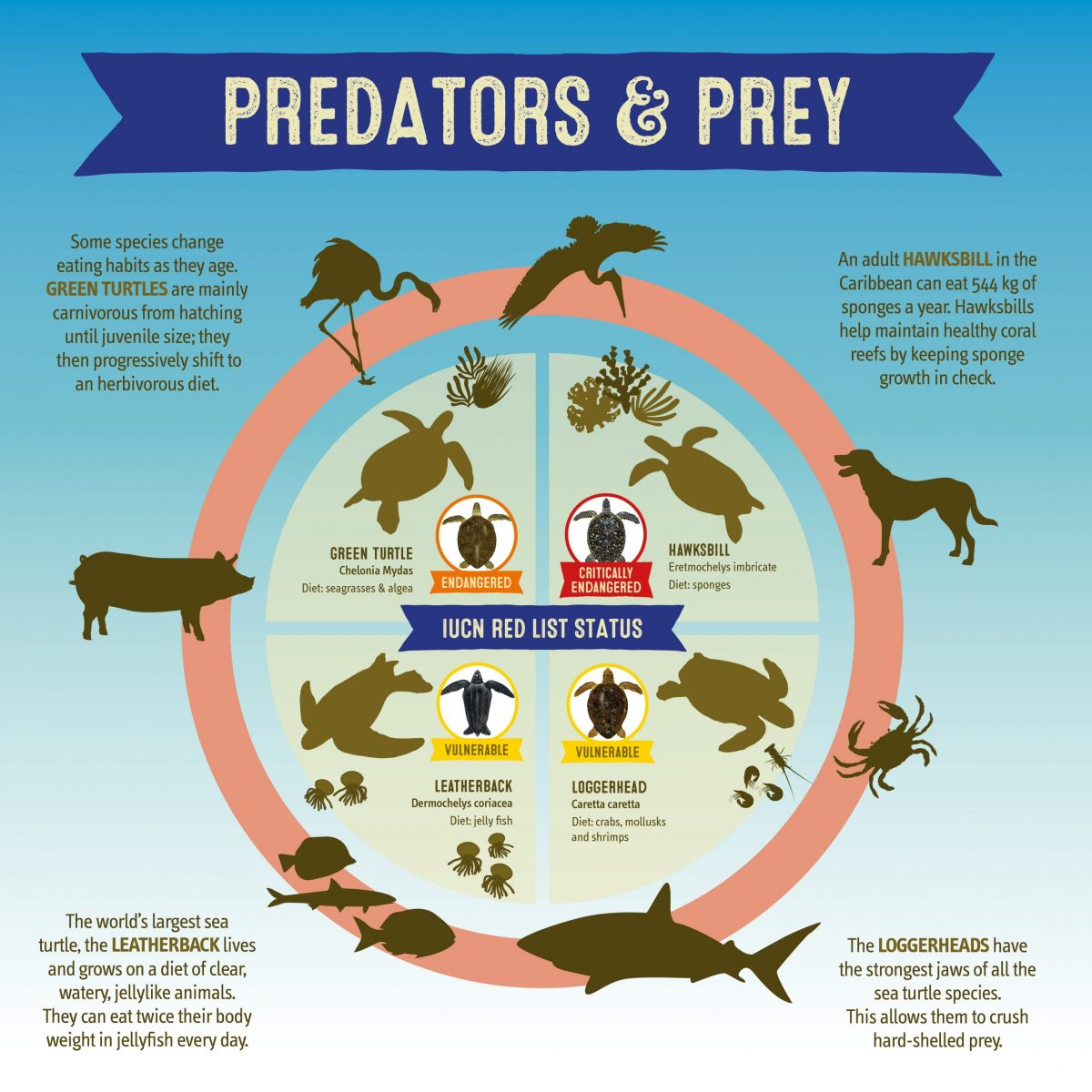 Sea Turtles Predators and Prey