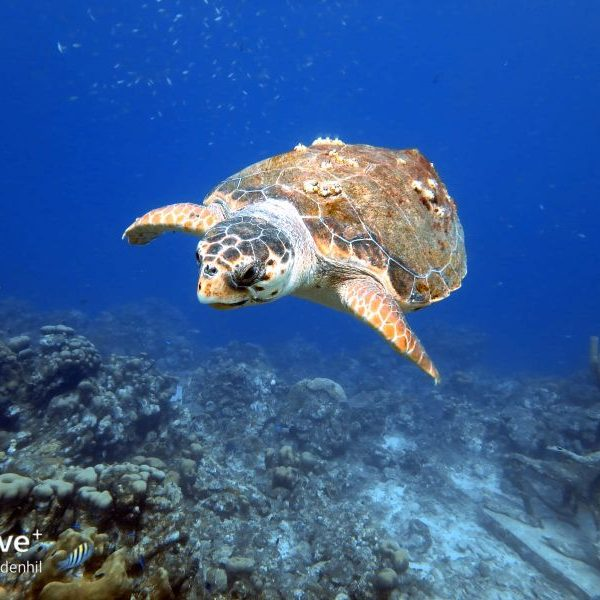 Sea Turtle of Curacao