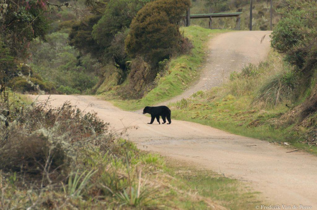 andeanbear bear chingaza
