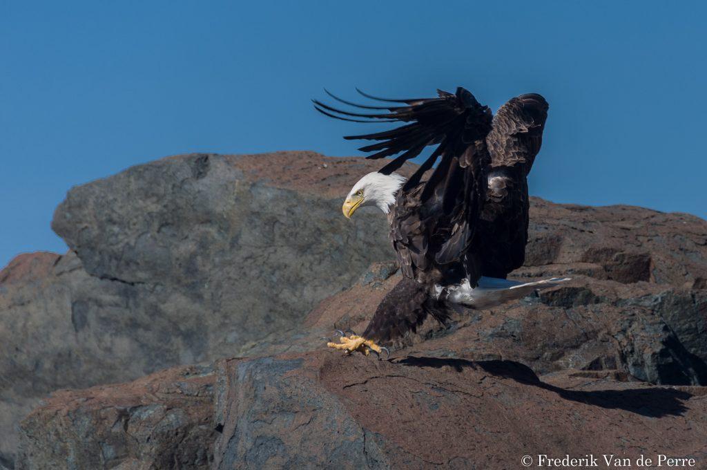 eagle baldeagle acadia