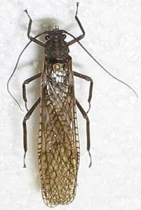 Pteronarcyidae