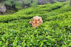 A cow in Kolukkumalai Tea plantations in Munnar, Kerala, India
