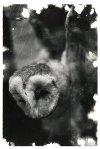 35mm black and white film photograph of snowy barn owl