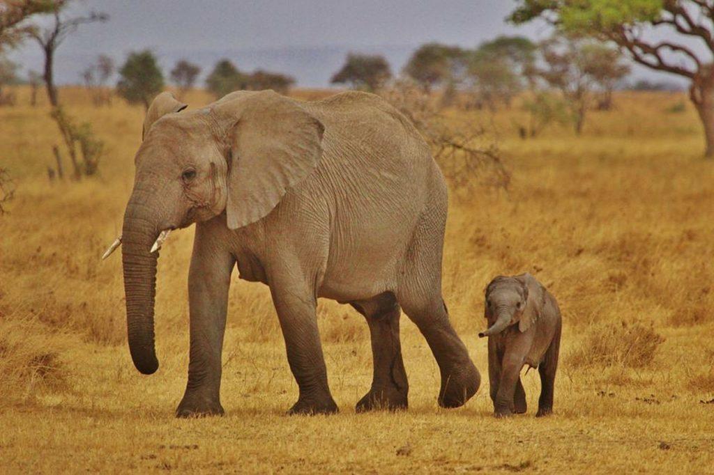 elephant babies, elephant family, serengeti national park