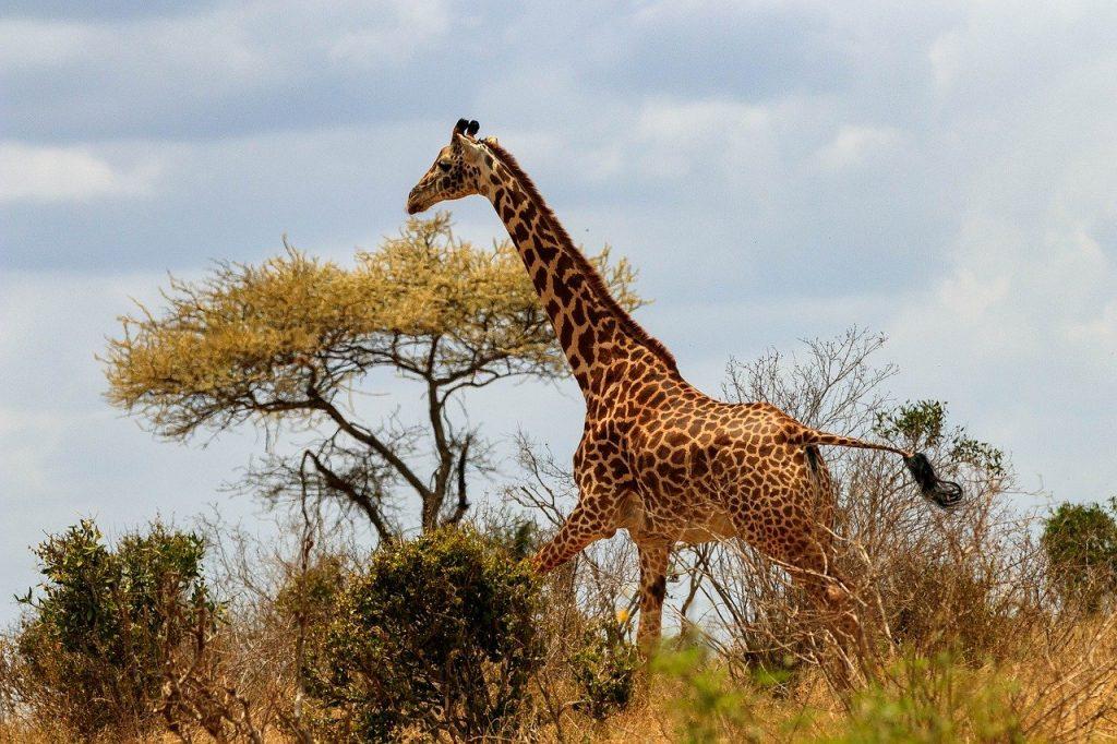 giraffe, africa, kenya